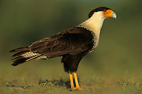 Crested Caracara, Caracara plancus, adult, Starr County, Rio Grande Valley, Texas, USA, May 2002