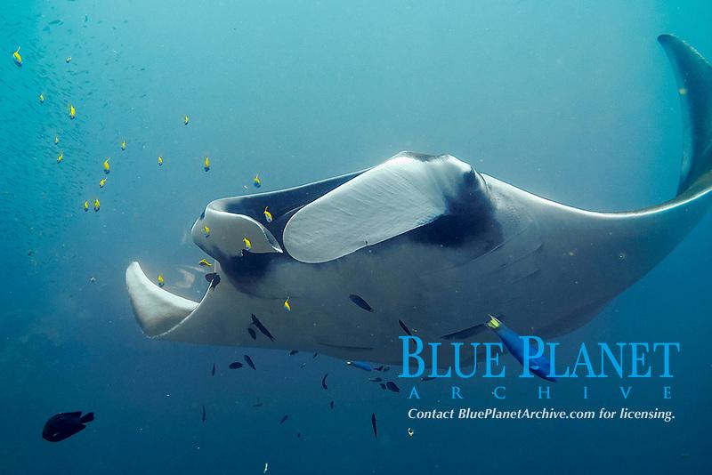 oceanic manta ray, Mobula birostris, formerly Manta birostris, in the blue, Hin Muang, purple rock, Andaman sea, Indian Ocean, Thailand, Asia