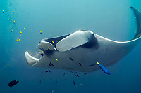 oceanic manta ray, Mobula birostris, formerly Manta birostris, in the blue, Hin Muang, purple rock, Andaman sea, Indian Ocean, Thailand, Asia