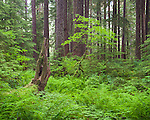 Olympic National Park, Washington<br /> Vine maple (Acer circinatum) in the understory in the temperate rainforest of the Sol Duc Valley