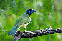 Green Jay perched in Mesquite
