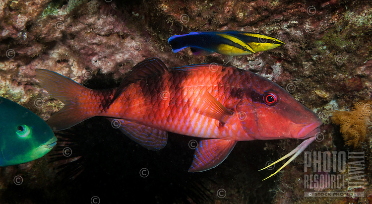An underwater closeup of a manybar goatfish or moano and two Hawaiian cleaner wrasse taken off of Kahe Point along the Waianae coast of O'ahu.