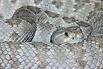 Santa Catalina island rattlesnake, Crotalus catalinensis
