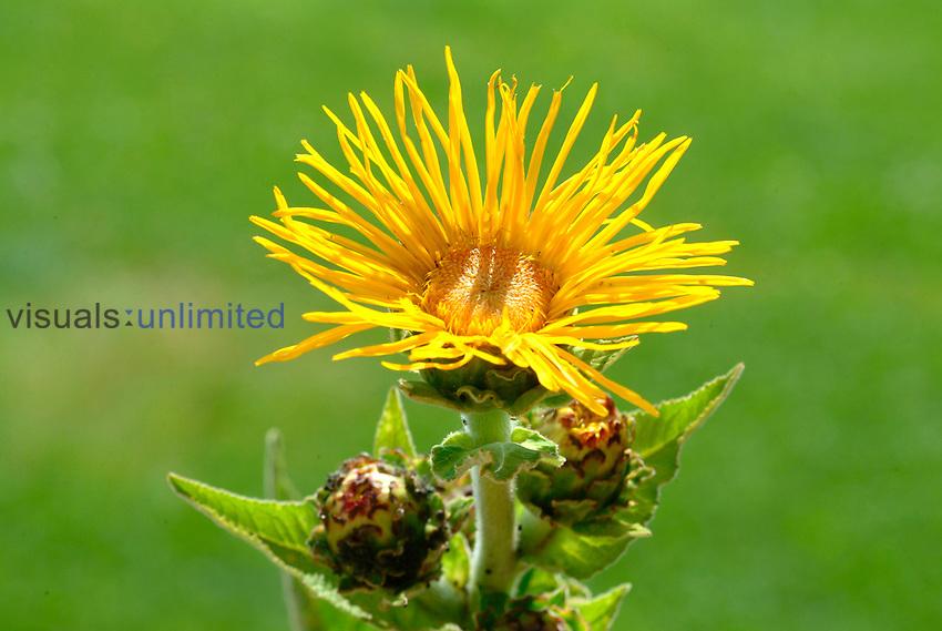 Elecampane flower (Inula helenium)