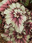 New York Swirl Begonia, Begonia rex