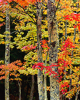 Porcupine Mountains Wilderness State Park, MI<br /> Lichen covered trunks of sugar maples in a hardwood forest of autumn color