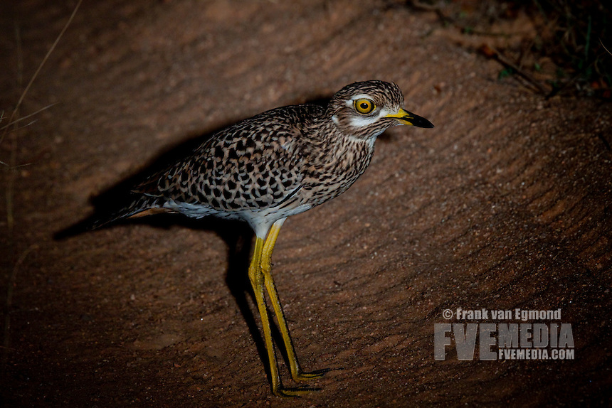 Spotted Thick-knee (Burhinus Capensis) .June 2009, winter..Balule Private Nature Reserve, York section..Greater Kruger National Park, Limpopo, South Africa.