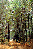 Chambeshi, Zambia, Africa. Track through pine plantation.