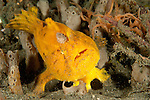 Frogfish: Antennarius sp., yellow / orange variety with large lure, open mouth, Lembeh Strait