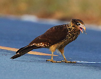 Immature yellow-headed caracara
