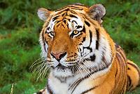 Siberian tiger, or Amur tiger, Panthera tigris altaica, adult, endangered species, Asia
