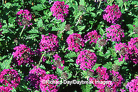 "63821-054.20  Verbena Canadensis ""Homestead Purple""  Marion Co.  IL"
