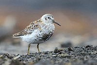 Adult Rock Sandpiper (Calidris ptilocnemis ptilocnemis) of the Pribilof Island race in breeding plumage. St. George Island, Alaska. July.