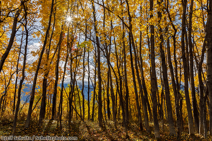 Fall landscape of Aspen and Birch trees with sun coming through.  Southcentral, Alaska<br /> <br /> Photo by Jeff Schultz/SchultzPhoto.com  (C) 2018  ALL RIGHTS RESERVED<br /> <br /> 2018 Bears, Glaciers and Fall Colors Photo tour/workshop