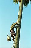 Cambodia; Sugar Palm Tree Harvest
