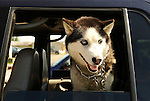 Moosehead Lake, ME. Husky dog peering from car window.