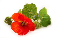 Fresh nasturtium flowers.  leaves & seeds