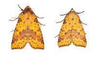 73.181 (2273)<br /> Pink-barred Sallow - Xanthia togata