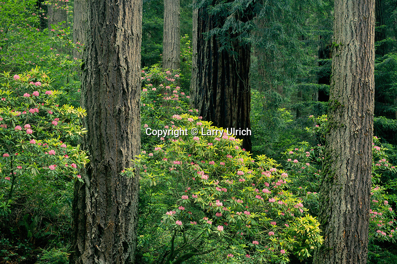 Western rhododendron, Douglas firs<br />