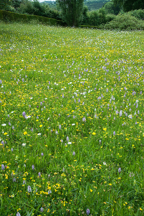 Looking south across the Orchard Meadow, Great Dixter, early June. Wildflowers include Common spotted orchid, (Dactylorhiza fuchsii), Ox-eye Daisy (Leucanthemum vulgare), Meadow buttercup (Ranunculus acris), Yellow rattle (Rhinanthus minor).