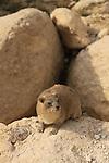 Israel, Judean Desert, Rock Hyrax (Procavia capensis) in Ein Gedi National Park