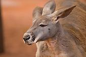Sydney, Australia. Red kangaroo.