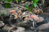 group of coconut crab, robber crab, or palm thief, in territorial dispute, Birgus latro, Christmas Island, Australia