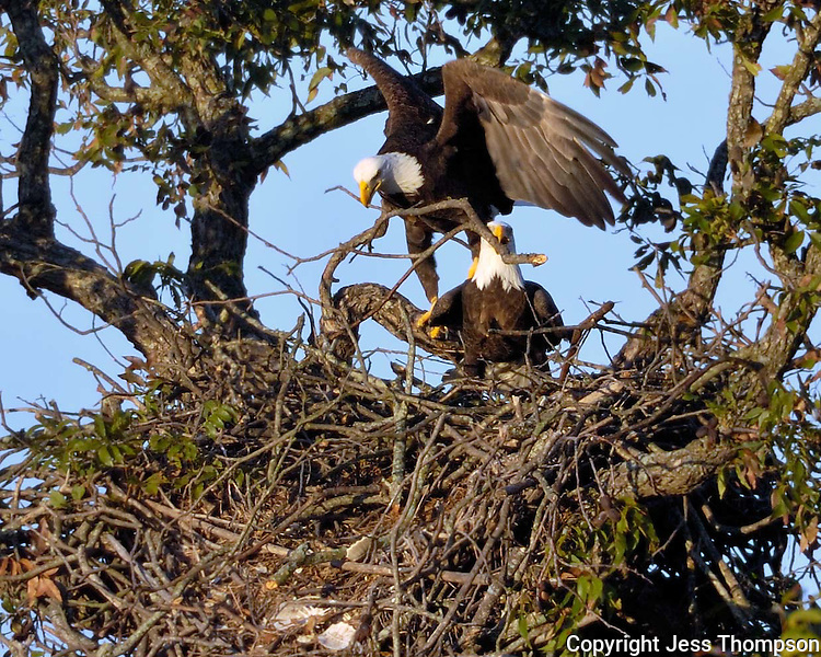Bald Eagles rebuilding the Llano, TX nest for the coming season.
