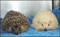 BNPS.co.uk (01202 558833)<br /> Pic: Tiggywinkles/BNPS<br /> <br /> These adorable images show an ultra-rare blonde hedgehog that was rescued by an animal hospital. <br /> <br /> Blond, or leucistic hedgehogs, have a partial loss of pigmentation which results in pale colouration of everything other than the eyes. <br /> <br /> This particularly cute example, aptly named Blondie, was brought into Tiggywinkles Wildlife Hospital near Aylesbury, Bucks, late last year after he was found wandering around during the daytime.<br /> <br /> Terribly malnourished, the unusual hog weighed only 165g - 25 per cent of the 600g he should have weighed after having been born in August.