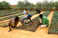 Workers planting Acacia albida trees