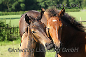 Bob, ANIMALS, REALISTISCHE TIERE, ANIMALES REALISTICOS, horses, photos+++++,GBLA3961,#a#, EVERYDAY