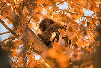 North American porcupine (Erethizon dorsatum), also known as the Canadian porcupine or common porcupine, resting in the top of a large cottonwood tree in the last few minutes before sunset.  Utah. November.