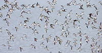 An unexpected first for me was the sighting of a murmuration of red-necked phalaropes on Yellowstone Lake.