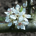"""Blossom on Pear 'Black Worcester', early April. """"Origin uncertain, but one of the oldest pears in cultivation. It appears on the coat of arms of Worcester and was grown there before 1575 when Quen Elizabeth I saw it at Whystone Farm. It is possiby the same as the French cultivar 'de Livre' and may even date from Roman times. Tree growth vigorous, spreading, reliable and heavy cropping. It never softens to eat for dessert and needs cooking slowly for 1-2 hours. It is seldom planted today but many old trees still exist."""" ('Pears' by Jim Arbury and Sally Pinhey)"""