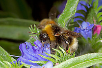 Barbut's Cuckoo Bumblebee - Bombus barbutellus - male on Viper's Bugloss.