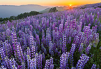 Redwood National Park, CA: Hillside of bigleaf lupine (Lupinus polyphyllus) and Oregon white oaks (Quercus garryana) at sunset in the Bald Hills