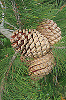 Knobcone pine tree dry open cones Salt Point California