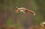 Red Squirrel Special