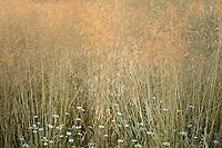Wild daisies (chrysanthemum leucanthemum).and grasses with sunrise glow Graham Oaks Nature Preserve. Wilsonville, Oregon