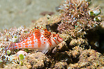 Anilao, Philippines; a Dwarf Hawkfish (Cirrhitichthys falco) perched on the coral reef