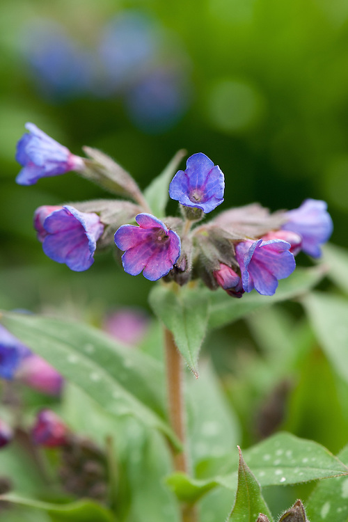 Pulmonaria longifolia 'Cedric Morris', late March. Fowers are pink initially, then turn blue.