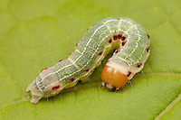 Confused Woodgrain Moth (Morrisonia confusa) caterpillar (larva), Bald Eagle State Park, Howard, Centre County, Pennsylvania