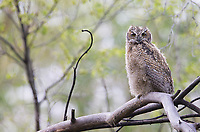 A Great horned owlet found above the trail at Market Lake.