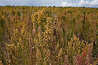 A picture dated February 26 2013 shows plants of quinoa in the region of Challapat, in Oruro Bolivia.  2013  was declared the international year of Quinoa by the UN.  Bolivia is the main producer of quinoa in the world.
