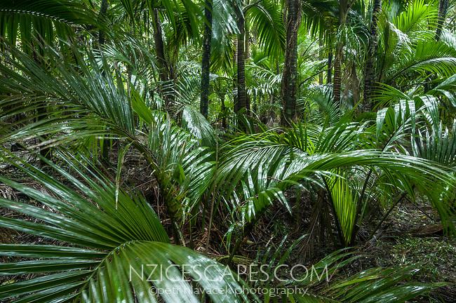 Interior of Nikau Palm forest at Kohaihai, Kahurangi National Park, West Coast, Buller Region, New Zealand