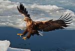 A white tailed sea eagle lands on the pack ice near the harbor of Rausu, Hokkaido, Japan.