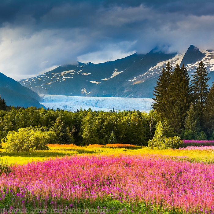 Clouds over the Coast mountains and the Mendenhall Glacier, fireweed in full bloom in Brotherhood Park, Juneau, Alaska.