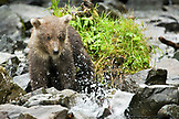 USA, Alaska, grizzly bear cub watching a fish, Wolverine Cove, Redoubt Bay
