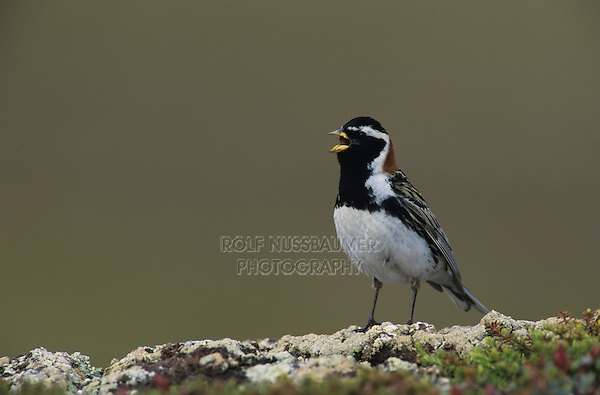 Lapland Longspur, Calcarius lapponicus,male singing, Gednjehogda, Norway, Europe