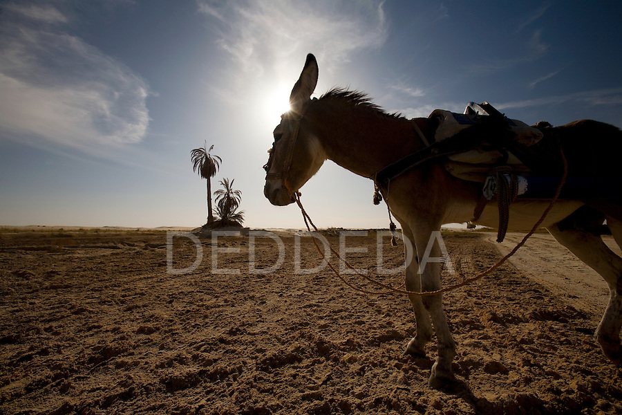 A donkey in the desert near a palm tree outside Siwa Town of the Siwa Oasis, Egypt.